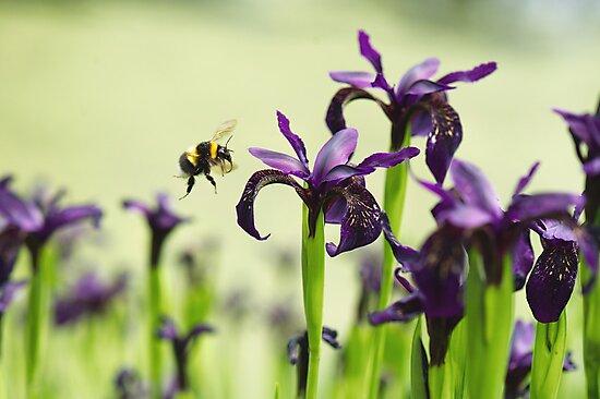Iris Bee by Sarah-fiona Helme
