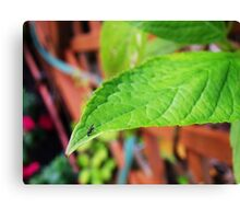 Fly on Leaf Canvas Print