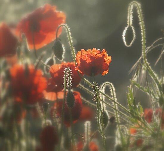 Poppy Time by Goldendays