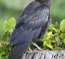 Handsome Young Raven by Carl Olsen
