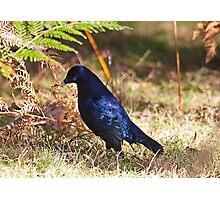Male Satin Bower Bird Photographic Print