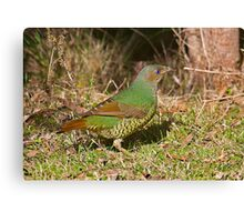 Female Satin Bower Bird Canvas Print