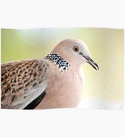 Spotted Turtle Dove Poster