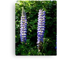 Glowing Lupin Canvas Print