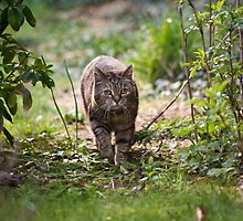 Big Little Cat In My Jungle by Wolf Kettler
