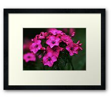 Pink blossoms with drops Framed Print