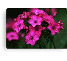 Pink blossoms with drops Canvas Print