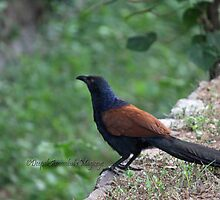 Greater Coucal by magiceye