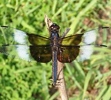Black and White Dragonfly by Paula Betz