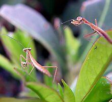 Baby Praying Mantis by Kate Eller