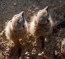 Meerkats From above  by Marc Garner