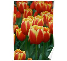 Tulips in Holland  Poster