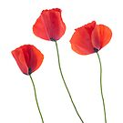 Three poppies by homydesign