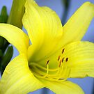 Lemon  Lilly by Ruth Lambert