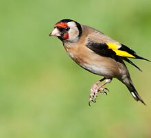 Goldfinch ~In flight/hovering by Margaret S Sweeny