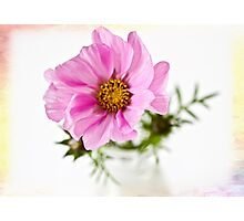 Cosmos in a glass jar Photographic Print