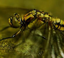 Four-Spotted Chaser Closeup by Russell Couch