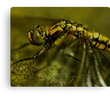 Four-Spotted Chaser Closeup Canvas Print