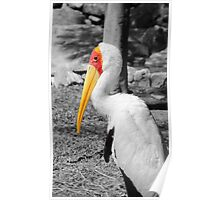 Yellow Faced Stork Poster