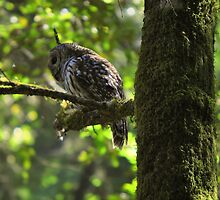 Spotted Owl, Muir Woods by Bob Moore