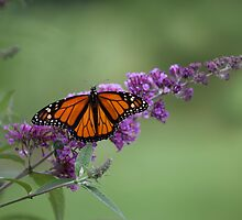 Butterfly Bush by Forrest Tainio
