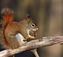 Red squirrel in autumn by MIRCEA COSTINA