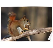Red squirrel in autumn Poster