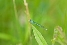 Familiar Bluet by Mike Oxley