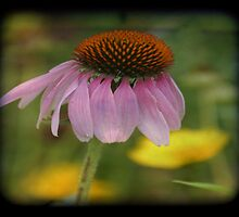 TTV-CONE FLOWER. by mikepemberton