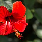 Hibiscus flower by Ralph Goldsmith