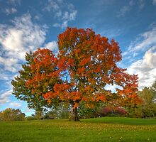 The old maple by MIRCEA COSTINA