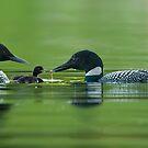 Nurturing Loons by Bill Maynard