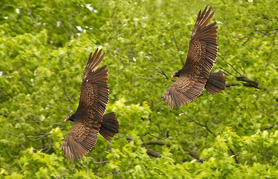 Turkey Vultures by MIRCEA COSTINA