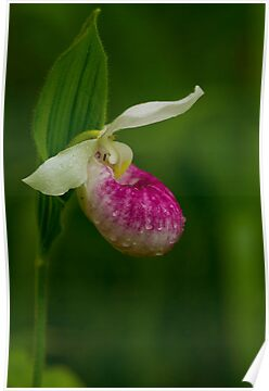 Showy Lady's Slipper (Cypripedium reginae) by Megan Noble
