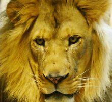 Lion's Gaze by dmwarnman