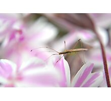 Insect on the phlox Photographic Print