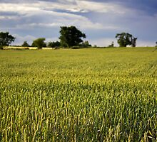 Wheat Fields by Nicholas Jermy