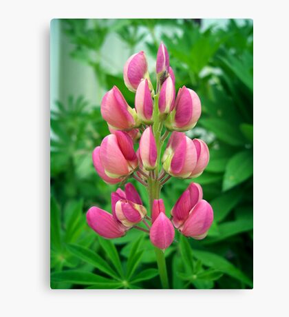 Pink Lupin Canvas Print