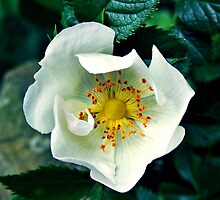 Wild Rose by Rewards4life