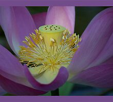 Carolina Queen Lotus by jono johnson