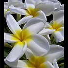 Singapore White Frangipani - Splashes of Sunshine by jono johnson