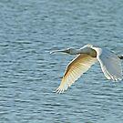 Spoonbill in flight by Robert Abraham