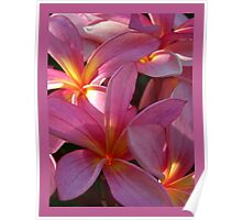 Candy Pink Frangipani - Antiquity Poster
