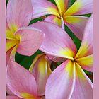 Candy Pink Frangipani - Femininity by jono johnson