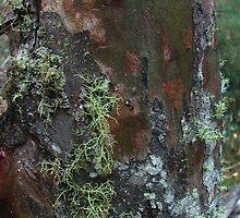 Lichen on black sallee bark by orkology