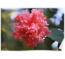 Hibiscus rosa-sinensis 'Mrs G. Davis' Poster