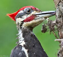 Pileated Woodpecker Feeding Covered in Ants by Lee Hiller