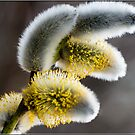 Pussy Willow by M.S. Photography/Art