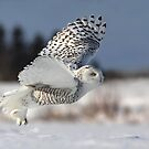 Snowy in action by MIRCEA COSTINA
