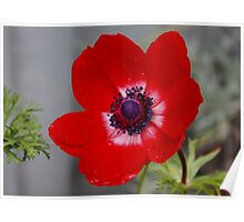 Anemone after the Rain Poster